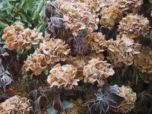 Djupfryst vanlig hortensia Royaltyfri Fotografi