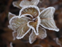 Djupfryst vanlig hortensia Fotografering för Bildbyråer
