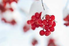 Djupfryst viburnum Royaltyfri Fotografi