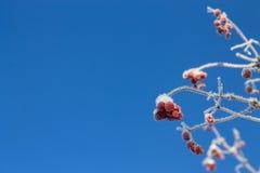 Djupfryst viburnumbakgrund Arkivfoton