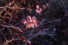 djupfryst vine för leavesvisarred Arkivbild