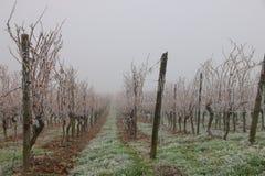 djupfryst vingård fotografering för bildbyråer