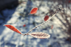 Djupfryst vinterfilial med det orange bladet Arkivfoton