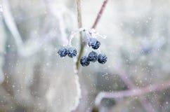 Djupfrysta bär på en filial under snö royaltyfri foto