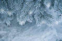 Djupfrysta barrträds- filialer i den vita vintern Arkivfoton