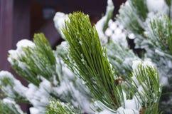 Djupfrysta barrträds- filialer i den vita vintern Frostigt vinterlandskap i snöig skog Arkivfoton