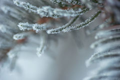 Djupfrysta barrträds- filialer i den vita vintern Vinterbakgrund med barrträds- visare Arkivbild