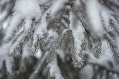 Djupfrysta barrträds- filialer i den vita vintern Vinterbakgrund med barrträds- visare Arkivfoton
