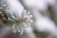 Djupfrysta barrträds- filialer i den vita vintern Vinterbakgrund med barrträds- visare Royaltyfri Bild