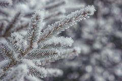 Djupfrysta barrträds- filialer i den vita vintern Vinterbakgrund med barrträds- visare Royaltyfri Foto