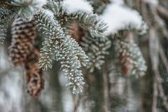 Djupfrysta barrträds- filialer med den djupfrysta kotten i den vita vintern, vinterbakgrund Royaltyfri Fotografi