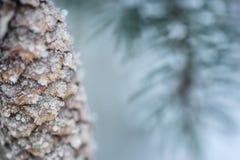 Djupfrysta barrträds- filialer med den djupfrysta kotten i den vita vintern, vinterbakgrund Royaltyfria Bilder