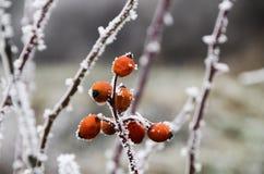 Djupfrysta Berrys Fotografering för Bildbyråer