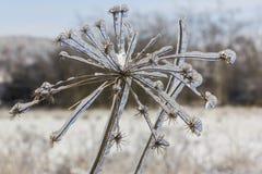 Djupfrysta blommor i vinternärbild Royaltyfri Fotografi