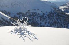 Djupfrysta Bush i bergen av den Siberian vintern som en snöflinga Royaltyfria Bilder