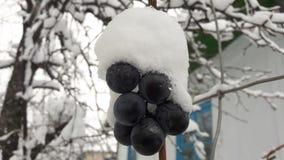 Djupfrysta druvor med snö Den första snön avverkar på druvor royaltyfri fotografi