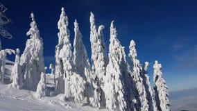 Djupfrysta granträd i Charpatians Montains royaltyfria bilder