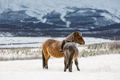 Djupfrysta hästar II Arkivfoto