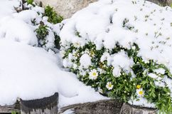 Djupfrysta kamomillblommor under snön på suddig bakgrund Djupfryst floret royaltyfria bilder