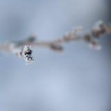 Djupfrysta knoppar, växter frostig vinter för morgonnatursnowfall Royaltyfria Bilder