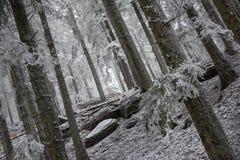 Djupfrysta skogträd under en dimmig dag Royaltyfria Foton