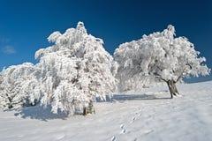 Djupfrysta träd Arkivbilder