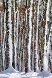 Djupfrysta trädstammar Arkivbilder