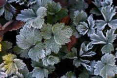 Djupfrysta växtsidor royaltyfria foton