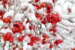 Djupfrysta viburnumbär på filialerna Royaltyfri Foto