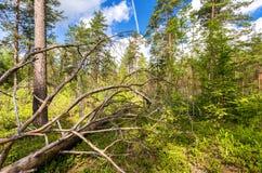 Djupskog i sommartid Lös flora och natur Royaltyfri Bild