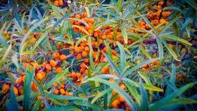 djupt grunt fälthav för buckthorn Arkivfoto