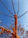 djupt grunt fälthav för buckthorn Royaltyfri Foto