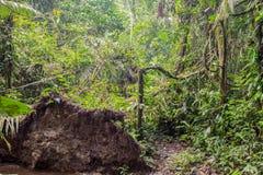 Djupt i den fuktiga tropiska djungeln royaltyfria bilder