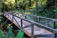 Djupt i redwoodträdskogen Arkivbild