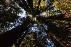 Djupt i redwoodträdskogen Arkivfoton
