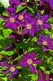Djupt - purpurfärgad klematis Arkivbild