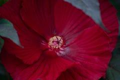 Djupt - röd hibiskusståndaremakro arkivbilder