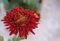 Djupt - röd och gul blomma för färgblandningkrysantemum arkivbild