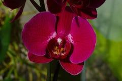 Djupt - röd Phalaenopsisorkidé royaltyfri fotografi