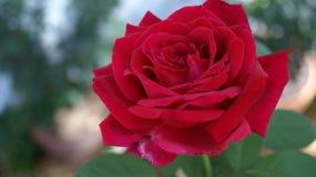 Djupt - röd rosa full blom royaltyfri bild