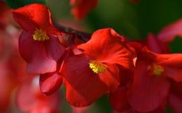 Djupt - röda begoniablommor Fotografering för Bildbyråer