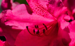 Djupt - rött Royaltyfria Bilder