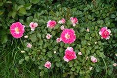 Djupt - rosa blommor av steg i trädgården Arkivbild