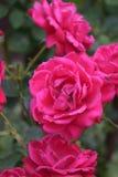 Djupt - rosa rosor Arkivbild