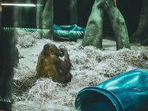Djur apa som äter frukter som sitter zoo Fotografering för Bildbyråer