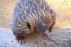 djur australiensisk echidnainföding Arkivfoto
