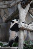 djur behandla som ett barn den gulliga jätte- små pandaen för clamberen Royaltyfri Fotografi