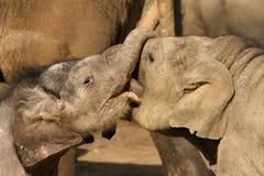 djur behandla som ett barn elefanter som leker två Arkivfoton