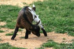 djur behandla som ett barn lantgårdgeten Royaltyfri Foto