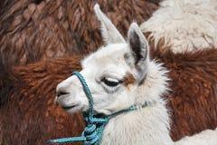 djur behandla som ett barn llamawhite Royaltyfri Bild